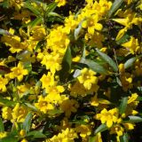 Carolina Jessamine: Vine of the South