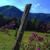 Smoky Mountain Ironweed