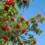 Smoky Mountains Fall Red Beauty Mountain Ash!