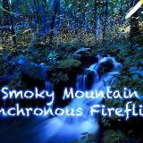 Synchronous Fireflies Great Smoky Mountains June 2019