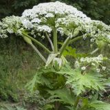 Giant Hogweed Invades Smoky Mountain Region