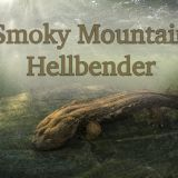 Smoky Mountain Hellbenders