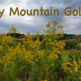 Smoky Mountain Goldenrod