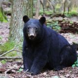 Smoky Mountain Black Bear Euthanized