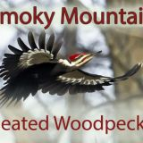Smoky Mountain Pileated Woodpeckers