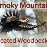 Smoky Mountain Pileated Woodpeckers